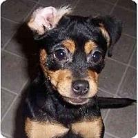 Adopt A Pet :: Bella - Mays Landing, NJ