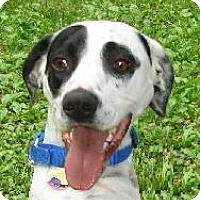 Jack Russell Terrier/Dalmatian Mix Dog for adoption in Blue Bell, Pennsylvania - Katie
