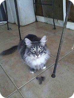 Domestic Mediumhair Cat for adoption in Alamo, California - Mia