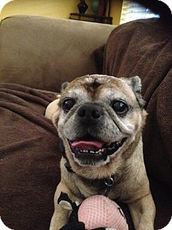 Pug Dog for adoption in Austin, Texas - Bugs