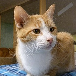 Photo 1 - American Shorthair Cat for adoption in Westville, Indiana - Maximus