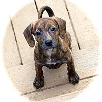 Adopt A Pet :: Shauna - Ijamsville, MD