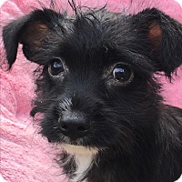Adopt A Pet :: Mikey - Tumwater, WA