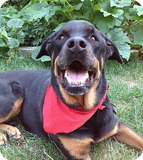 Rottweiler Dog for adoption in Caledon, Ontario - Moose