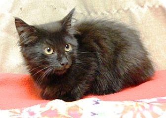 Domestic Longhair Kitten for adoption in Columbus, Nebraska - Ceasar