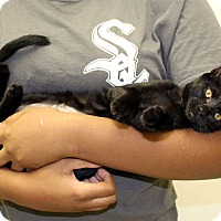 Domestic Shorthair Kitten for adoption in McCormick, South Carolina - Sissie