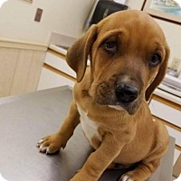 Hound (Unknown Type)/Boxer Mix Puppy for adoption in Wilmington, Delaware - Rigby
