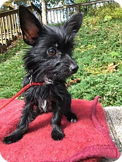 Yorkie, Yorkshire Terrier/Shih Tzu Mix Dog for adoption in Wilmington, Delaware - Timmy