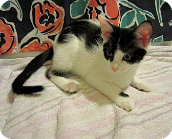 Domestic Shorthair Kitten for adoption in Columbus, Ohio - Heidi