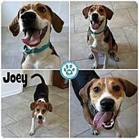 Adopt A Pet :: Joey - Kimberton, PA