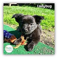 Adopt A Pet :: Ladybug - Plainfield, IL
