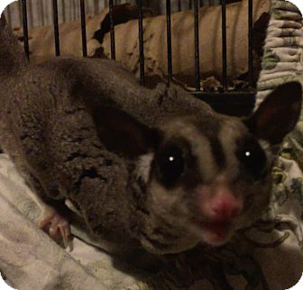 Sugar Glider for adoption in St. Paul, Minnesota - Crackle