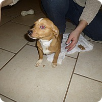 Adopt A Pet :: Daisee - Glastonbury, CT