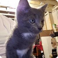 Adopt A Pet :: Smokie - Speedway, IN