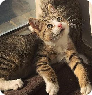 Domestic Shorthair Kitten for adoption in Brooklyn, New York - Lentil