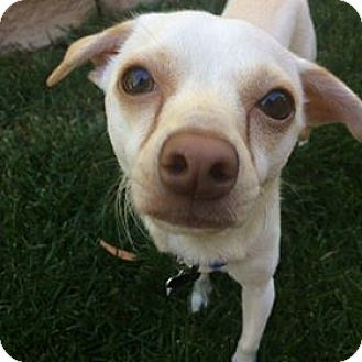Chihuahua/Dachshund Mix Dog for adoption in Valencia, California - Odie
