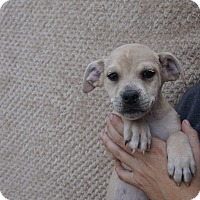 Adopt A Pet :: Gator - Oviedo, FL
