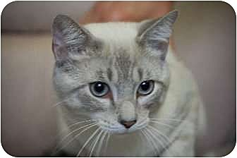 Siamese Cat for adoption in Germantown, Tennessee - Jinx