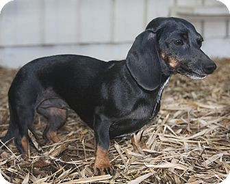 Dachshund Dog for adoption in North Palm Beach, Florida - Peanut
