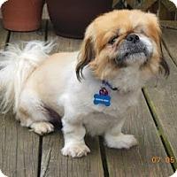Adopt A Pet :: Charlie Bear - Chantilly, VA