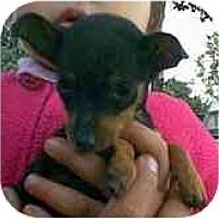 Adopt A Pet :: Monica - dewey, AZ