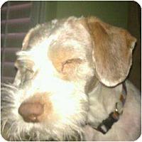 Adopt A Pet :: Chamomile - non shed! - Phoenix, AZ