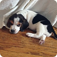 Adopt A Pet :: Axl - Novi, MI