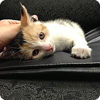 Adopt A Pet :: Sophie - bloomfield, NJ