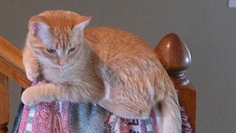 Domestic Shorthair Cat for adoption in Eldora, Iowa - Juice