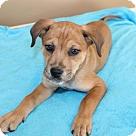Adopt A Pet :: PUPPY ISLA