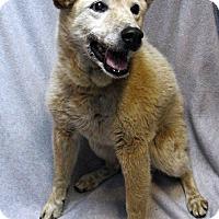 Adopt A Pet :: Gracie - Westminster, CO