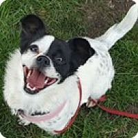 Adopt A Pet :: Cookie - Bloomington, IL