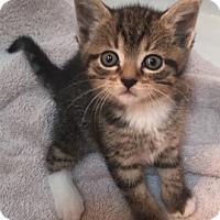 Adopt A Pet :: Kasmira - Merrifield, VA