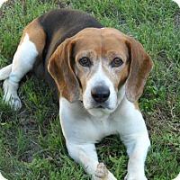 Adopt A Pet :: Charlie VII - Tampa, FL