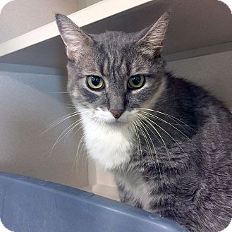American Shorthair Cat for adoption in New York, New York - Pat