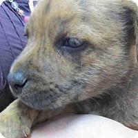 Adopt A Pet :: GIGI - Ukiah, CA
