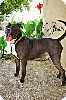 Pit Bull Terrier Mix Dog for adoption in DELANO, California - JESUS