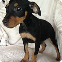 Adopt A Pet :: Mischa - Hartford, CT