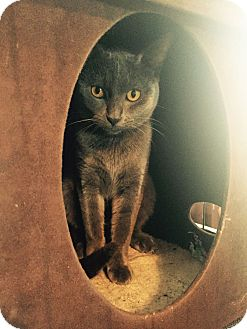 Russian Blue Cat for adoption in Arlington/Ft Worth, Texas - Momo