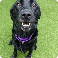 Adopt A Pet :: Cookie - Midlothian, VA