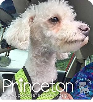 Poodle (Miniature) Mix Puppy for adoption in Essex Junction, Vermont - Princeton