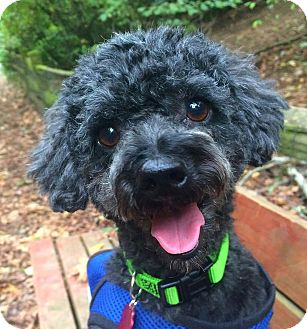 "Poodle (Miniature) Mix Dog for adoption in Seattle, Washington - ""Beau Marley"""
