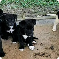 Adopt A Pet :: Pups - Gretna, FL