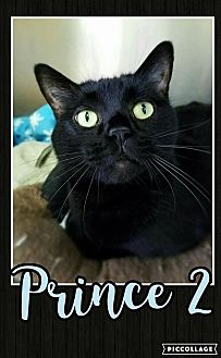 Domestic Shorthair Cat for adoption in Edwards AFB, California - Prince 2