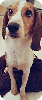 Beagle Mix Puppy for adoption in Hewitt, New Jersey - Argos Adoption Pending Congrats Sparrow & Kurt!