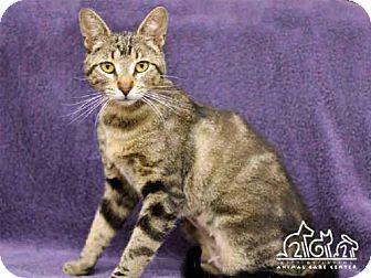 Bengal Cat for adoption in Irvine, California - KEKE