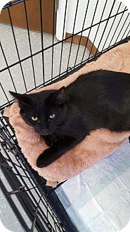 Domestic Shorthair Kitten for adoption in Danville, Indiana - Jasper