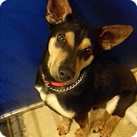 Adopt A Pet :: Saki - Pinedale, WY