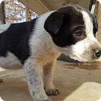 Cattle Dog Mix Puppy for adoption in Providence, Rhode Island - Kipp LB CP