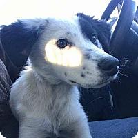 Adopt A Pet :: SPOT - joliet, IL